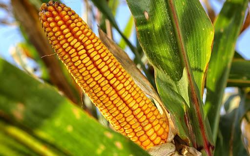 La fixation du prix du maïs: bête noire des petits entrepreneurs au Burundi?